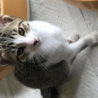 可愛い子猫の里親を募集します