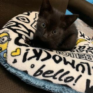 急募!!!!真っ黒の可愛い子猫です!