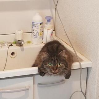 2歳半 ミックス 長毛っぽい人懐っこいオス猫♪