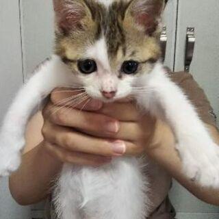 1.5ヶ月の白茶猫 オス