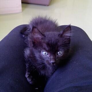 保護した、おっとりした黒猫ちゃんです(女の子 推定6週)