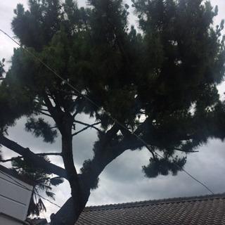 松の木を切断出来る方 - 西尾市