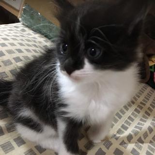 5/25生まれの白黒の子猫です