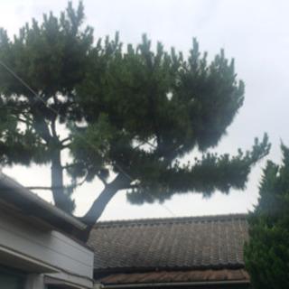 松の木を切断出来る方 - 手伝って/助けて