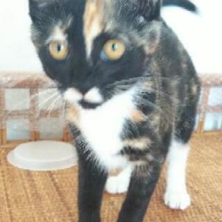 推定3ヶ月強 子猫 メス
