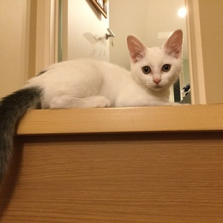 【トライアル中】里親募集✿白い子猫♀(3か月)