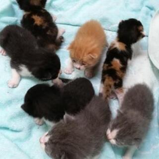 赤ちゃんネコ七ひき