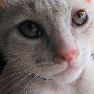 茶トラ子猫 2ヶ月 里親様募集。