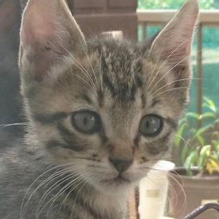お耳の大きなイケニャンキジトラ♂3ヶ月