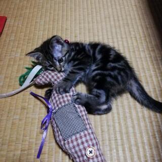 交渉中☆アメショ柄 甘えん坊な可愛い猫ちゃんです。