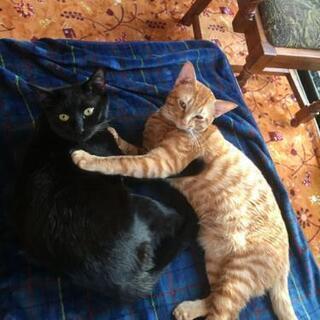 【助けてください】茶トラと黒猫の兄弟です。【ワクチン・去勢済】