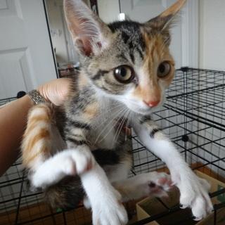 生後3か月位の子猫 雑種 個性的な柄模様と尻尾 女の子