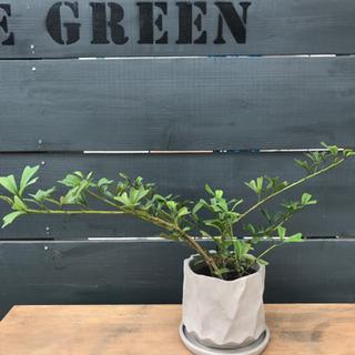 観葉植物 トライアンギュラリス