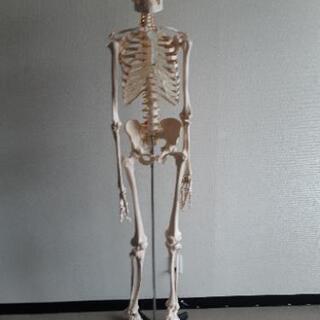 骨格模型    166センチ