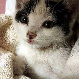 生後2ヶ月の仔猫の里親さんを募集してます。