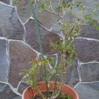 小松ばら園のバラ