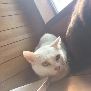 オッドアイの綺麗な白猫さん