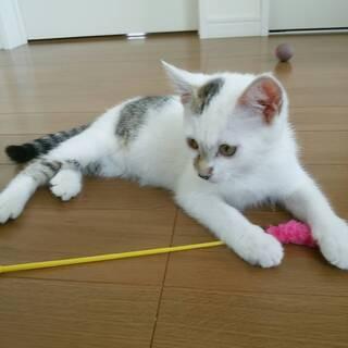 子猫(生後5~6ヶ月) 白に黒ブチ シッポは黒の縞柄です。
