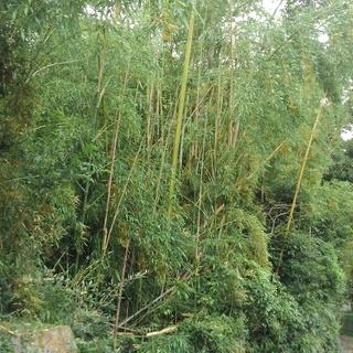 竹林の竹 無料です。