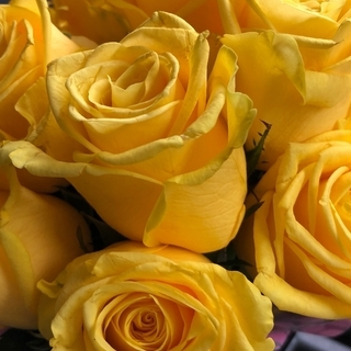 切り花品種 ソラーレ(黄色大輪系)★半剣弁高芯咲き★挿し木苗
