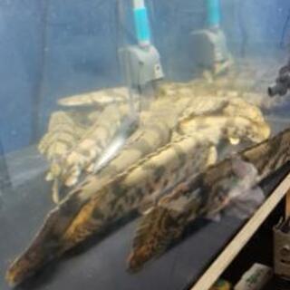 エンドリケリー アンソルギー 古代魚 ワイルド