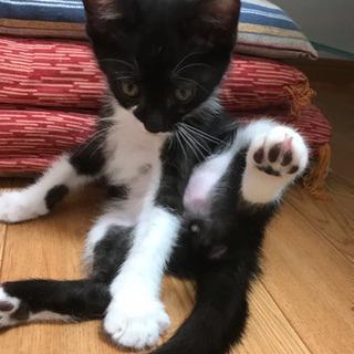 白黒くん オス 生後約2ヶ月 - 猫