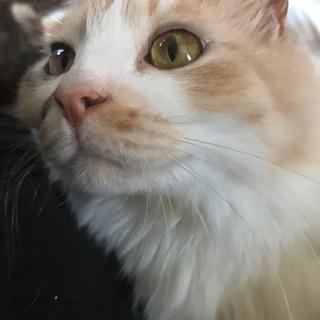 長毛、三毛猫、ホワイトデー生まれの3歳、メス