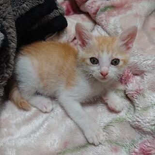 白茶の子猫