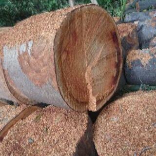 ケヤキ伐採木材