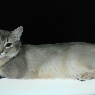ソフィー女の子の賢いソマリ猫です。