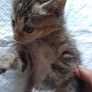 子猫の里親募集 生後1ヶ月半の女の子