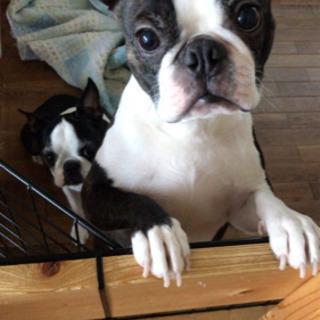 ボストンテリア♂ 生涯可愛がってくださる方募集!犬飼育経験者希望