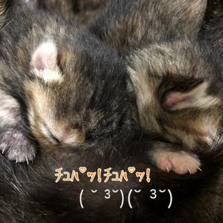 生まれて間もない赤ちゃん猫♡(しばらくは、こちら(母乳)で育てます