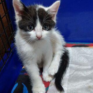 白黒のオス生後2ヶ月弱ぐらいの子猫