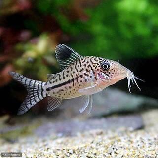 熱帯魚 コリドラス