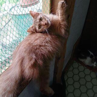 毛長の茶色、オス、11ヶ月