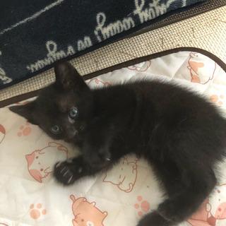 黒猫の子猫里親募集