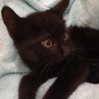 黒子猫2ヶ月半里親様決定😸 - 横浜市