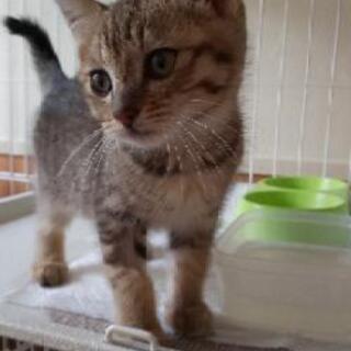 生後2ヶ月くらいのキジトラ♀
