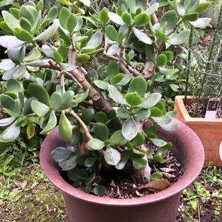 観葉植物 金の成る木
