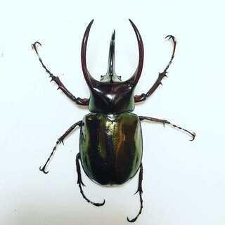 アトラスオオカブト 幼虫