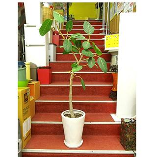 札幌【観葉植物 フィカス アルテシーマ 鉢付き】高さ133cm 9...