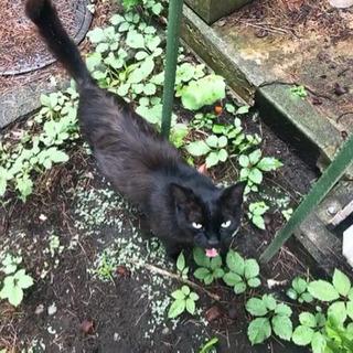 人慣れ抜群の黒猫くん/オス/推定8歳/FIV,FeLV陰性