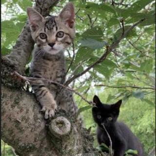 里親さん募集🐱4月生まれの兄弟子猫 キジトラと黒