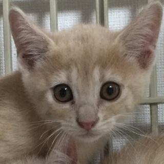 ミルクティー色子猫