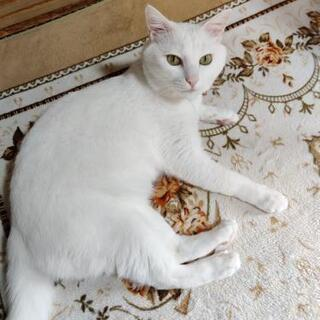 急募! 白猫5〜6歳