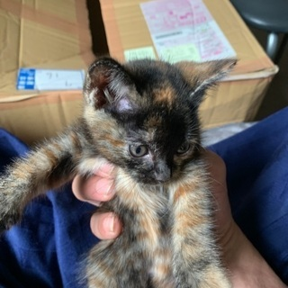 生後1ヶ月くらいの子猫の飼い主募集です。