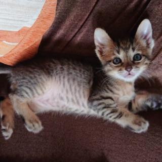 生後2ヶ月 子猫 ♂里親募集!