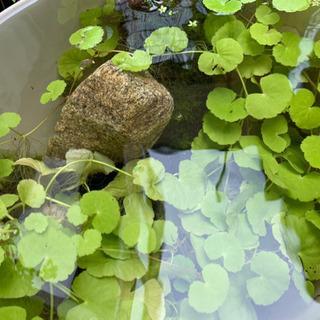 オーストラリアンノチドメ草