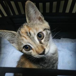 生後3か月弱の子猫2匹の里親様を募集です。